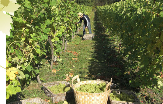 2009 Vine Harvest at Tas Valley